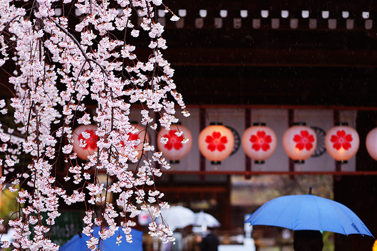 平野神社 平安時代(794年)に鎮座し、四柱の神様を祀る歴史もあり、桜の名所とし...  京都の